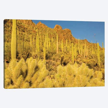 USA, Arizona, Tucson Mountain Park. Sonoran Desert landscape.  Canvas Print #JYG626} by Jaynes Gallery Canvas Wall Art