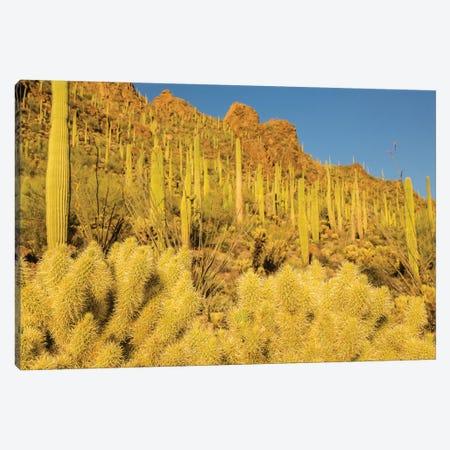 USA, Arizona, Tucson Mountain Park. Sonoran Desert landscape.  Canvas Print #JYG626} by Jaynes Gallery Canvas Wall Art