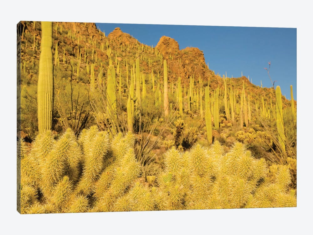 USA, Arizona, Tucson Mountain Park. Sonoran Desert landscape.  1-piece Canvas Art