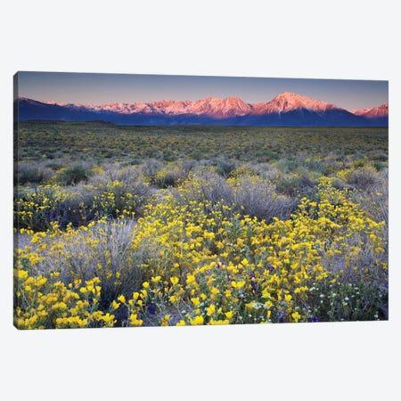 USA, California, Bishop. Venus blazing star flowers covering valley. Canvas Print #JYG628} by Jaynes Gallery Art Print