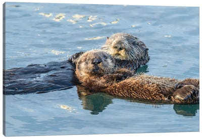 USA, California, San Luis Obispo. Sea otter waving. Canvas Art Print