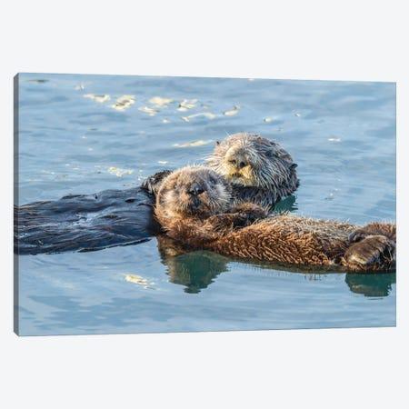 USA, California, San Luis Obispo. Sea otter waving. Canvas Print #JYG638} by Jaynes Gallery Canvas Art