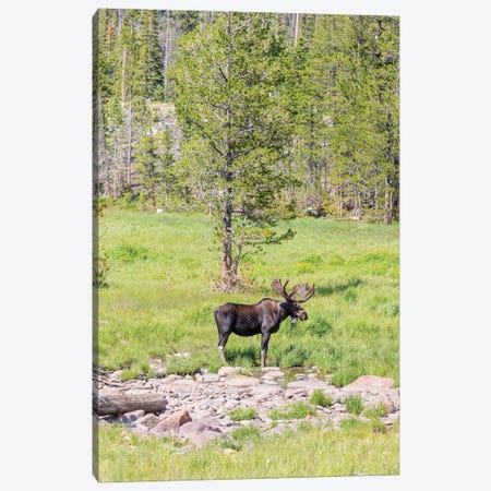 USA, Colorado, Cameron Pass. Bull moose with antlers. Canvas Print #JYG640} by Jaynes Gallery Canvas Art Print
