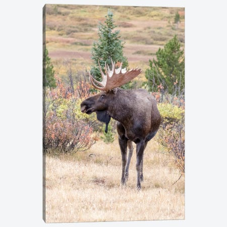 USA, Colorado, Cameron Pass. Bull moose with antlers. Canvas Print #JYG641} by Jaynes Gallery Canvas Art Print