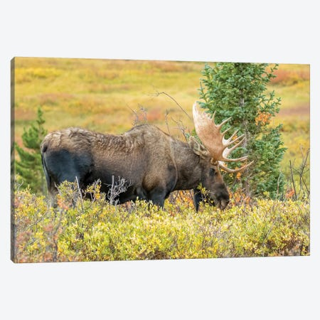 USA, Colorado, Cameron Pass. Bull moose with antlers. Canvas Print #JYG642} by Jaynes Gallery Canvas Art Print