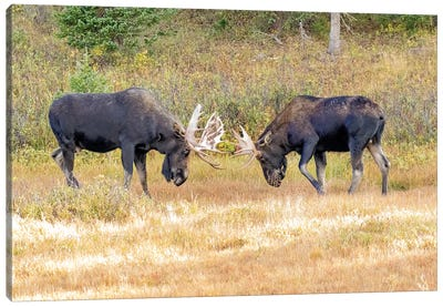 USA, Colorado, Cameron Pass. Two bull moose dueling. Canvas Art Print