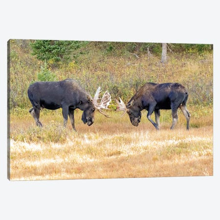 USA, Colorado, Cameron Pass. Two bull moose dueling. Canvas Print #JYG645} by Jaynes Gallery Canvas Wall Art