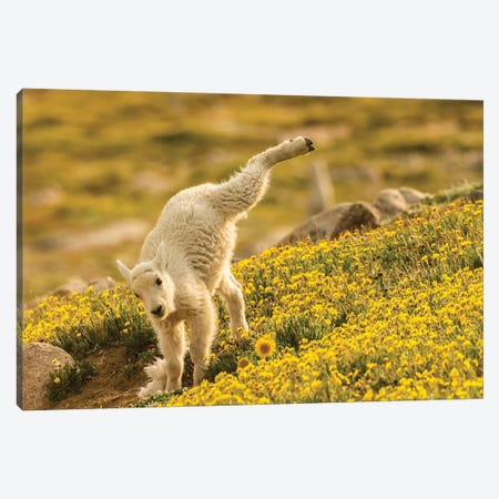 USA, Colorado, Mt. Evans. Mountain goat kid playing.  Canvas Print #JYG647} by Jaynes Gallery Canvas Artwork