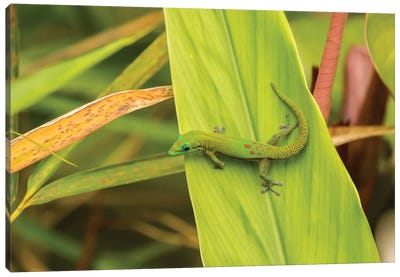 USA, Hawaii, Akaka Falls State Park. Gecko on large leaf. Canvas Art Print