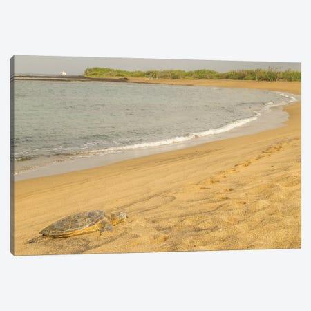 USA, Hawaii, Honokohau Bay. Green sea turtle on shore. Canvas Print #JYG656} by Jaynes Gallery Art Print