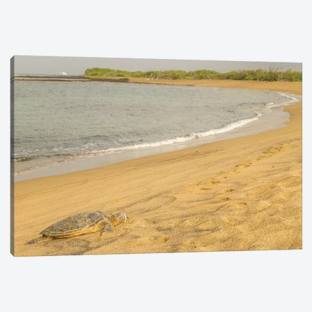 USA, Hawaii, Honokohau Bay. Green sea turtle on shore. Canvas Print #JYG656} by Jaynes Gallery Art Print