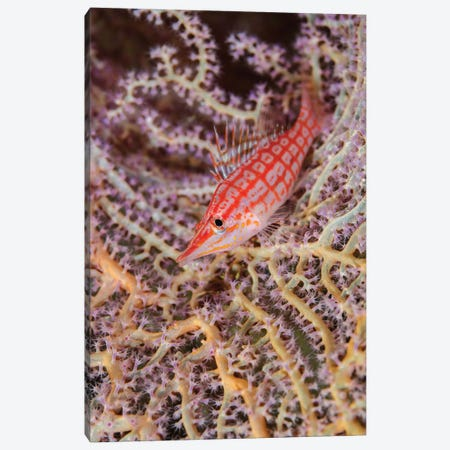 South Pacific, Solomon Islands. Close-up of longnose hawkfish. Canvas Print #JYG68} by Jaynes Gallery Canvas Artwork