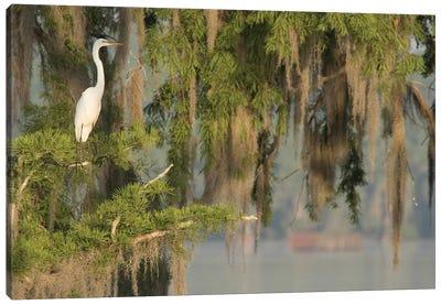 USA, Louisiana, Lake Martin. Foggy swamp sunrise with great egret in tree.  Canvas Art Print