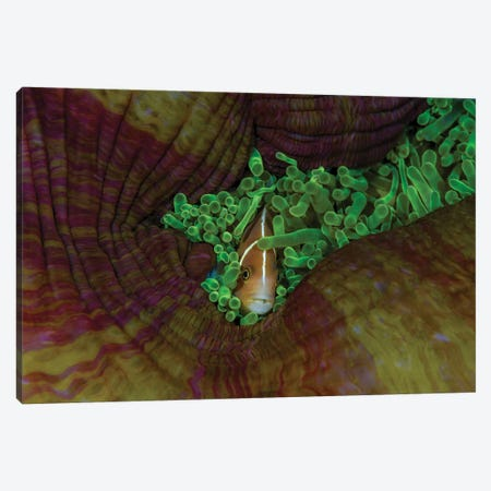South Pacific, Solomon Islands. Close-up of pink anemonefish. Canvas Print #JYG69} by Jaynes Gallery Canvas Art