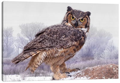 Canada, Ontario. Great horned owl close-up. Canvas Art Print