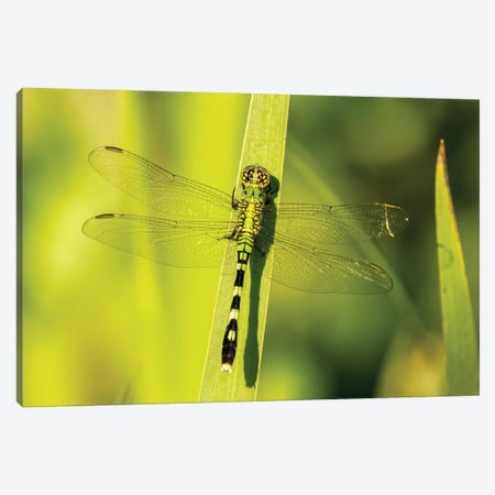USA, Louisiana, Lake Martin. Green clearwing dragonfly on leaf.  Canvas Print #JYG701} by Jaynes Gallery Canvas Wall Art