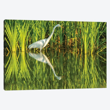 USA, Louisiana, Lake Martin. Sunrise great egret hunting in reeds.  Canvas Print #JYG702} by Jaynes Gallery Canvas Artwork