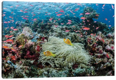 South Pacific, Solomon Islands. Reef of fish and corals. Canvas Art Print