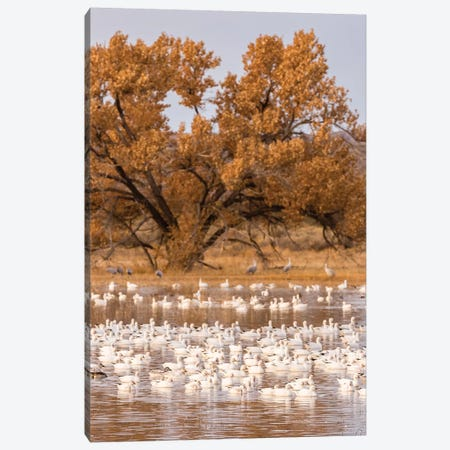 USA, New Mexico, Bosque Del Apache National Wildlife Refuge. Flock of geese and cottonwood tree. Canvas Print #JYG730} by Jaynes Gallery Canvas Print
