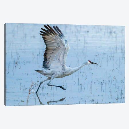 USA, New Mexico, Bosque Del Apache National Wildlife Refuge. Sandhill crane taking flight. Canvas Print #JYG738} by Jaynes Gallery Canvas Art Print