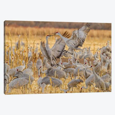 USA, New Mexico, Bosque del Apache National Wildlife Refuge. Sandhill cranes fighting. Canvas Print #JYG739} by Jaynes Gallery Canvas Print