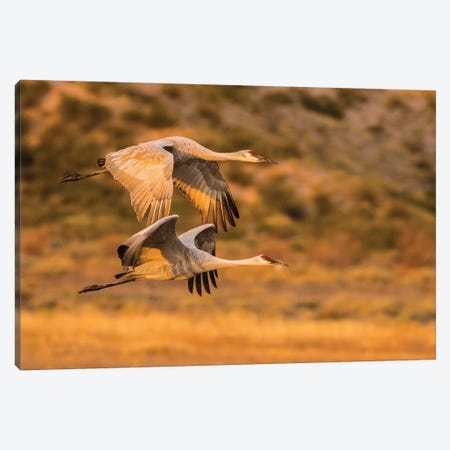 USA, New Mexico, Bosque Del Apache National Wildlife Refuge. Sandhill cranes flying. Canvas Print #JYG740} by Jaynes Gallery Canvas Art