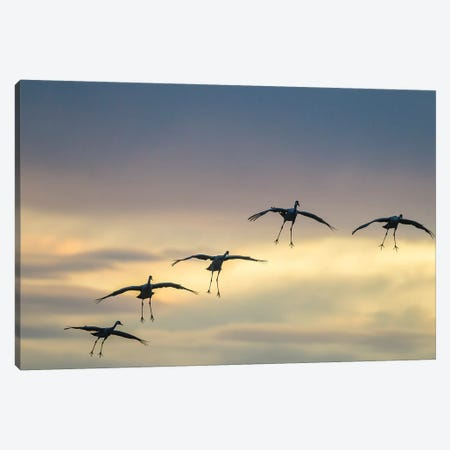 USA, New Mexico, Bosque Del Apache National Wildlife Refuge. Sandhill cranes landing at sunset. Canvas Print #JYG742} by Jaynes Gallery Canvas Artwork