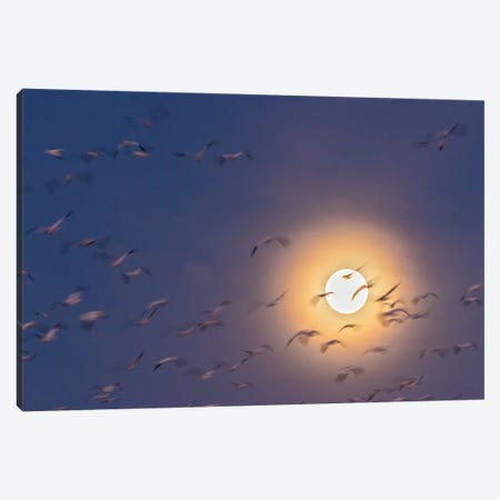 USA, New Mexico, Bosque del Apache National Wildlife Refuge. Snow geese blur and full moon. Canvas Print #JYG743} by Jaynes Gallery Canvas Artwork