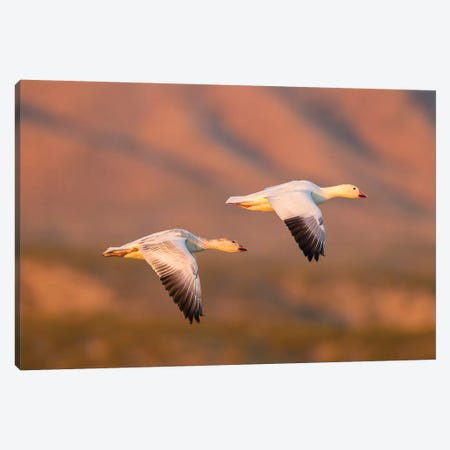 USA, New Mexico, Bosque Del Apache National Wildlife Refuge. Snow geese flying. Canvas Print #JYG744} by Jaynes Gallery Art Print