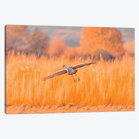 USA, New Mexico, Bosque del Apache Wildlife Refuge. Sandhill crane landing. Canvas Print #JYG746} by Jaynes Gallery Art Print