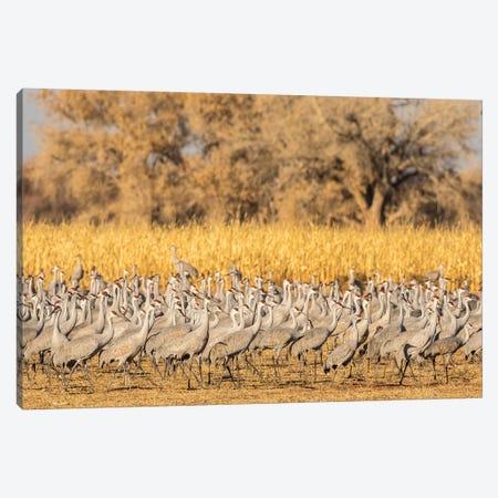 USA, New Mexico, Ladd S. Gordon Waterfowl Complex. Flock of sandhill cranes. Canvas Print #JYG747} by Jaynes Gallery Canvas Print