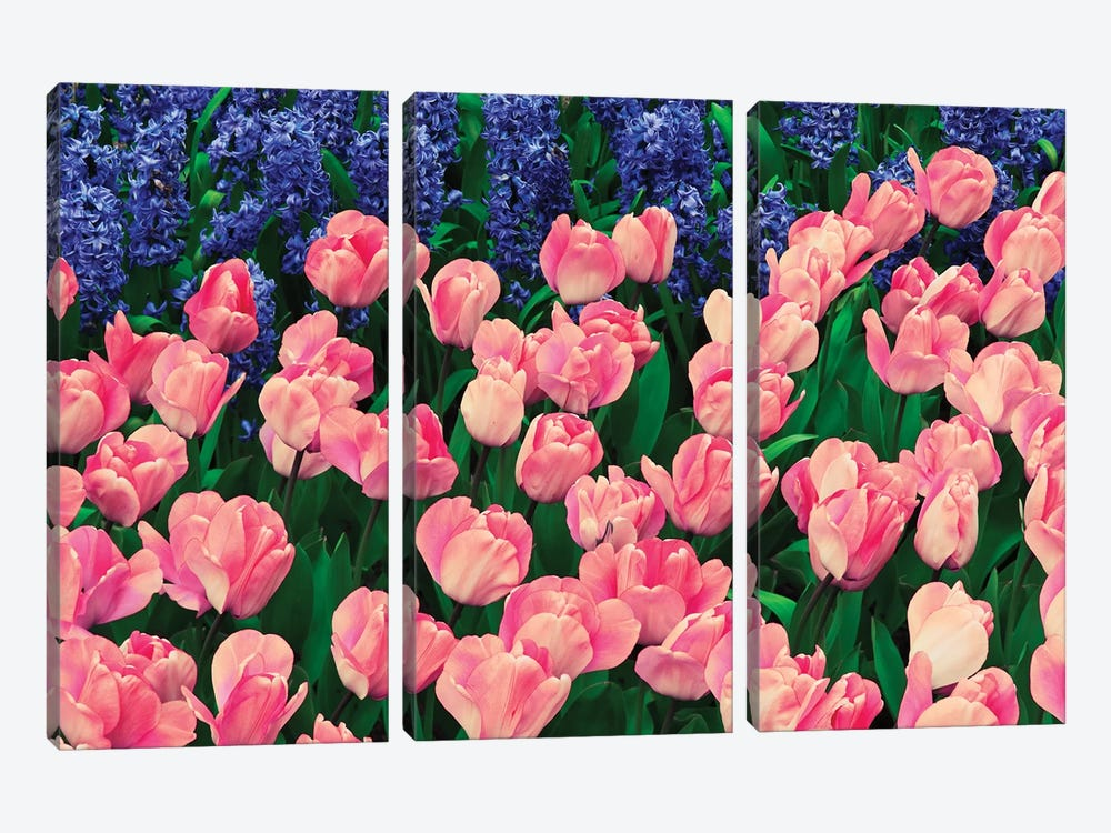 The Netherlands, Lisse. Close-up of flowers III by Jaynes Gallery 3-piece Canvas Artwork