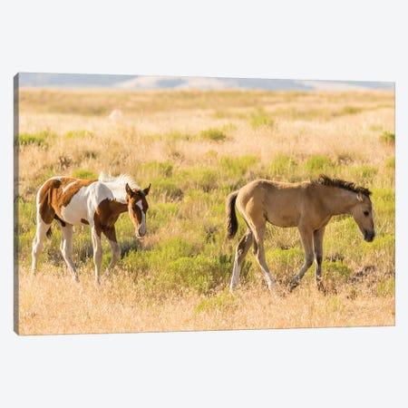 USA, Utah, Tooele County. Wild horse foals walking.  Canvas Print #JYG758} by Jaynes Gallery Canvas Print
