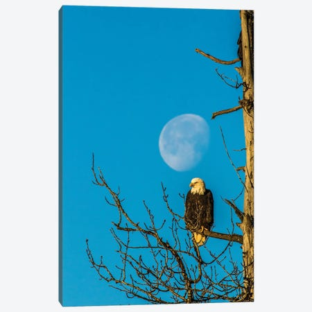 USA, Alaska, Chilkat Bald Eagle Preserve, bald eagle and moon Canvas Print #JYG75} by Jaynes Gallery Canvas Art
