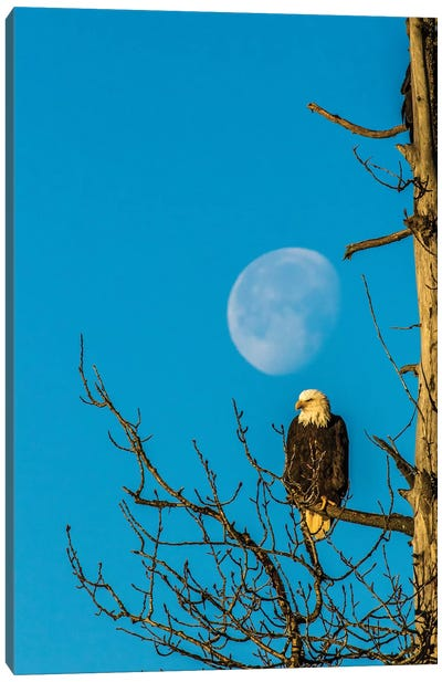 USA, Alaska, Chilkat Bald Eagle Preserve, bald eagle and moon Canvas Art Print