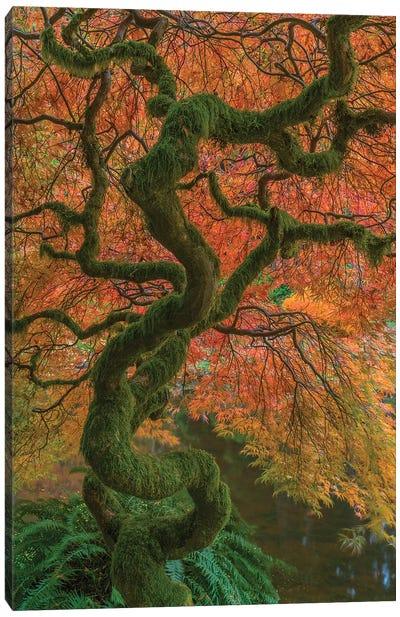 USA, Washington State, Bainbridge Island. Japanese maple tree in fall.  Canvas Art Print