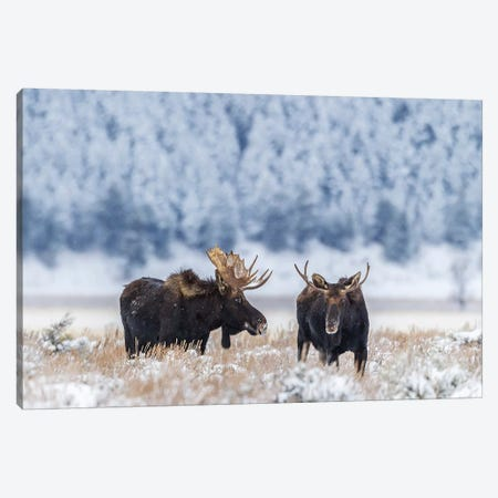 USA, Wyoming, Grand Teton National Park. Bull moose in winter. Canvas Print #JYG798} by Jaynes Gallery Art Print