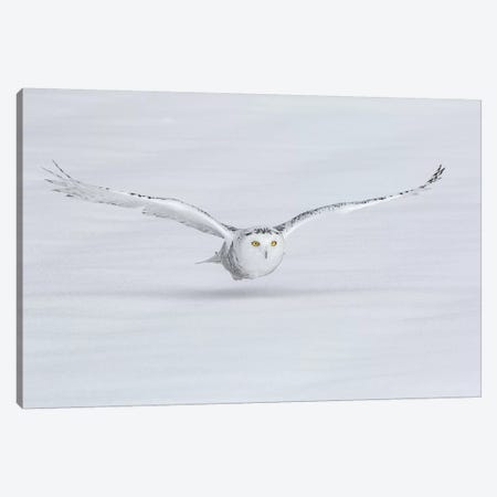 Canada, Ontario. Snowy owl flies low to ground. Canvas Print #JYG7} by Jaynes Gallery Canvas Artwork