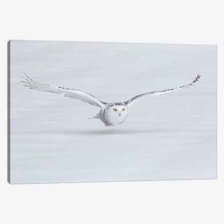 Canada, Ontario. Snowy owl flies low to ground. Canvas Print #JYG7} by Jaynes Gallery Canvas Artwork