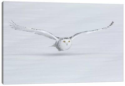 Canada, Ontario. Snowy owl flies low to ground. Canvas Art Print