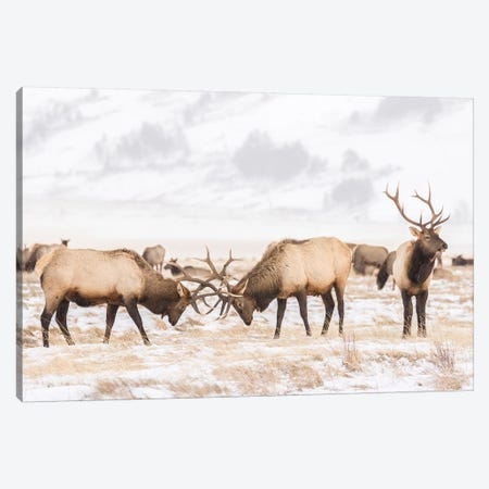USA, Wyoming, National Elk Refuge. Bull elks fighting in winter. Canvas Print #JYG802} by Jaynes Gallery Canvas Print