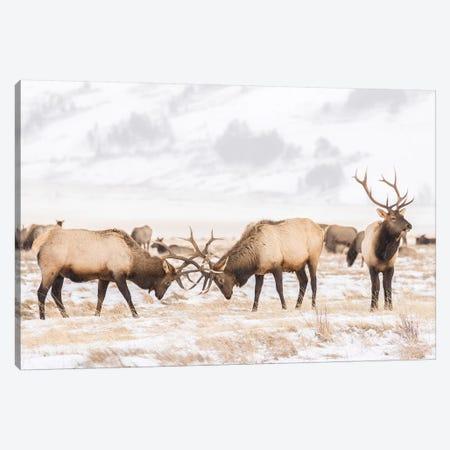 USA, Wyoming, National Elk Refuge. Bull elks fighting in winter. Canvas Print #JYG802} by Jaynes Gallery Canvas Print