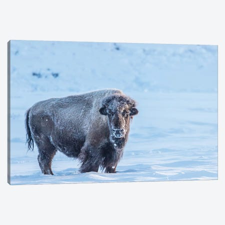 USA, Wyoming, Yellowstone National Park. Frosty bison in winter. Canvas Print #JYG803} by Jaynes Gallery Canvas Print