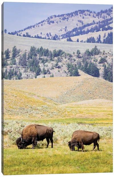 USA, Wyoming, Yellowstone National Park. Two buffalos in grassy field. Canvas Art Print