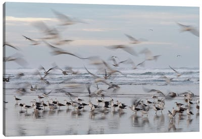 Africa, Morocco, Casablanca. Flurry Of Seagulls On Ocean Shore. Canvas Art Print