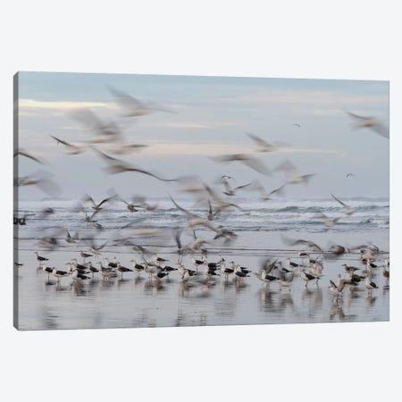 Africa, Morocco, Casablanca. Flurry Of Seagulls On Ocean Shore. Canvas Print #JYG811} by Jaynes Gallery Canvas Wall Art
