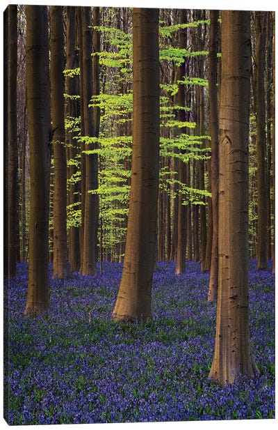Belgium. Hallerbos Forest With Trees And Bluebells. Canvas Art Print