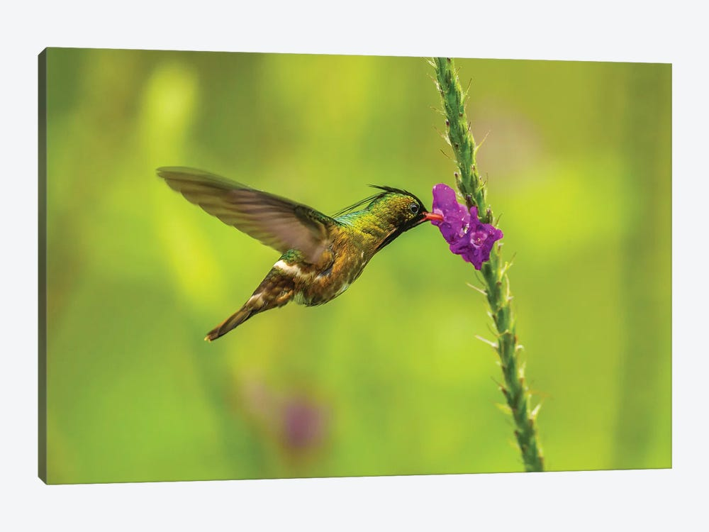 Costa Rica, Arenal. Black-Crested Coquette Feeding On Vervain. by Jaynes Gallery 1-piece Canvas Art Print