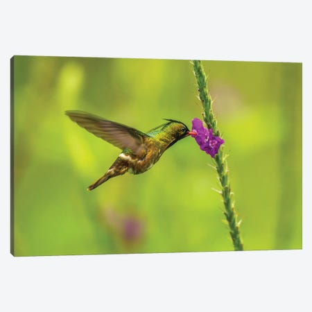 Costa Rica, Arenal. Black-Crested Coquette Feeding On Vervain. Canvas Print #JYG822} by Jaynes Gallery Canvas Print