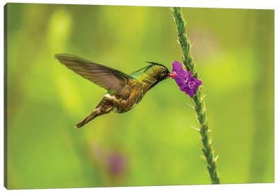 Costa Rica, Arenal. Black-Crested Coquette Feeding On Vervain. Canvas Art Print